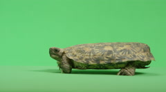 Pancake turtle side view Stock Footage