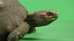 Side profile of red footed tortoise Stock Footage