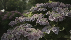 Day light on pink hydrangea, non color grade, in Japan Stock Footage