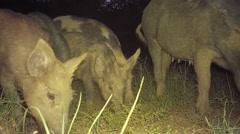 Wild Boar Piglets Stock Footage