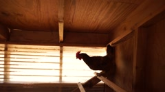 Hand held shot of lone chicken clucking in coop. Stock Footage