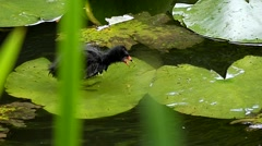 Water Birds Running on the Leaves of Lily and Eating. Slow Motion. Stock Footage