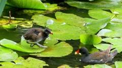 Water Bird Feeding Small Bird on the Lotus. Slow Motion. Stock Footage