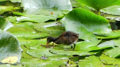 Water Birds Running on the Leaves of Lily and Eating. Stock Footage