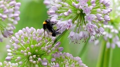 Bee Collecting Pollen on a Purple Flower. Slow Motion. Stock Footage