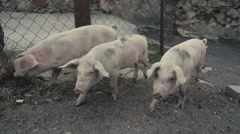 Little pigs sneaking outside of barn Stock Footage