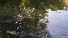 Still Waters Gators Swim in Stock Footage
