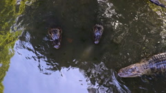 Gators Swimming Murky Water Stock Footage