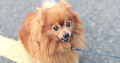 Pomeranian dog on lead Stock Footage