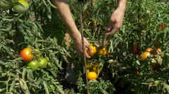 Organic fresh vegetables and fruits. Man harvests tomatoes in home garden. Stock Footage
