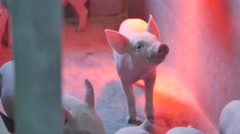 Small pigs in the farm Stock Footage