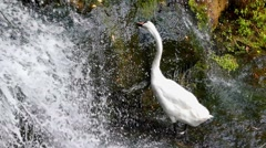 Waterfall in the Forest, and the White Swan is Nibbling the Grass. Stock Footage
