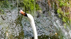 Waterfall in the Forest, and the White Swan is Nibbling the Grass. Slow Motion. Stock Footage
