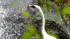 Waterfall in the Forest, and the White Swan is Nibbling the Grass. Focusing. Stock Footage
