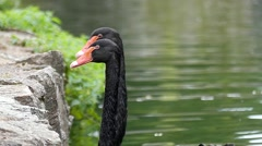 Two Black Swans Gracefully Swimming in the Lake. Stock Footage