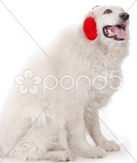 White severe with red ear muff Stock Photos