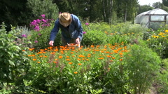 Gardener collecting medical calendula flowers Stock Footage
