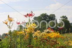 Multi-coloured lillies Stock Photos