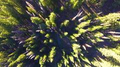 Pine Trees in Deer Valley, Utah Utah during the summertime Stock Footage