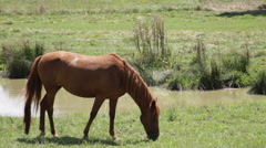 Red horse stops eating and looks at camera Stock Footage