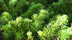 Branches of young green fir-tree on light wind  Stock Footage