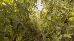 Red and green tomatoes in greenhouse Stock Footage