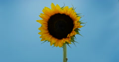Sunflower Large Yellow Petals Rotating Isolated on Blue, 4K Stock Footage