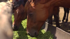 Brown horses eating hay in a farmyard Arkistovideo