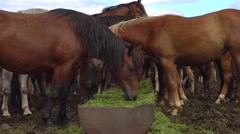 Brown horses eating hay in a farmyard Stock Footage