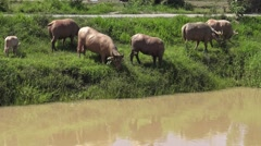Group water buffalo grazing,thailand. Stock Footage
