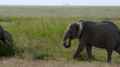 YOUNG MALE ELEPHANTS SPARING AMBOSELI KENYA AFRICA Stock Footage