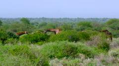 MASAI GIRAFFES GRAZING AMBOSELI KENYA AFRICA Stock Footage