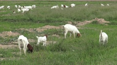 Goat grazing in the field,Thailand. Stock Footage
