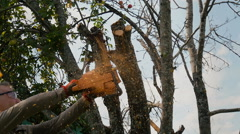The gardener cuts the old branches on a tree, using a chain saw. Arkistovideo