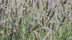 Lavender plants in a garden Stock Footage