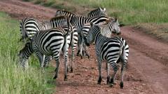 HERD OF BURCHELL'S ZEBRAS KENYA AFRICA Stock Footage