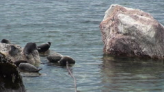 Baikal seal Pusa sibirica on Ushkany Islands. Stock Footage