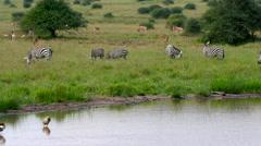 BURCHELL'S ZEBRAS GRAZING NAIROBI KENYA AFRICA Stock Footage