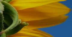 Yellow Sunflower Macro Close Up on Leaf Hair, 4K Stock Footage