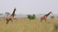MAASAI GIRAFFE STOOD NAIROBI KENYA AFRICA Stock Footage