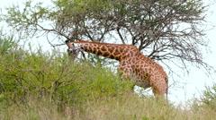 MAASAI GIRAFFE FEEDING BUSH NAIROBI KENYA AFRICA Stock Footage