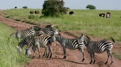 HERD OF BURCHELL'S ZEBRAS NAIROBI KENYA AFRICA Stock Footage