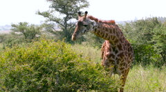 TWO MAASAI GIRAFFES FEEDING NAIROBI KENYA AFRICA Stock Footage