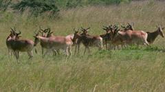 Herd COKE'S HARTEBEEST NAIROBI KENYA AFRICA Stock Footage