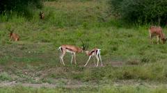 YOUNG THOMSON'S GAZELLES NAIROBI KENYA AFRICA Stock Footage