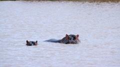 HIPPOPOTAMUSES IN WATER NAIROBI KENYA AFRICA Stock Footage