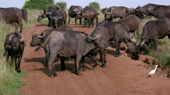HERD  CAPE BUFFALO (SYNCERUS NAIROBI KENYA AFRICA Stock Footage