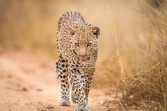 A Leopard walking towards the camera in the Kruger. Stock Photos