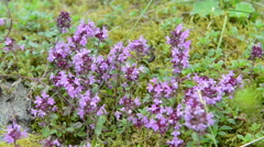 Honey bee on a wild thyme in european alps. Stock Footage