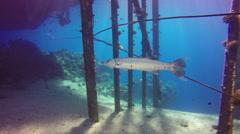 Great barracuda  (Sphyraena barracuda) Stock Footage